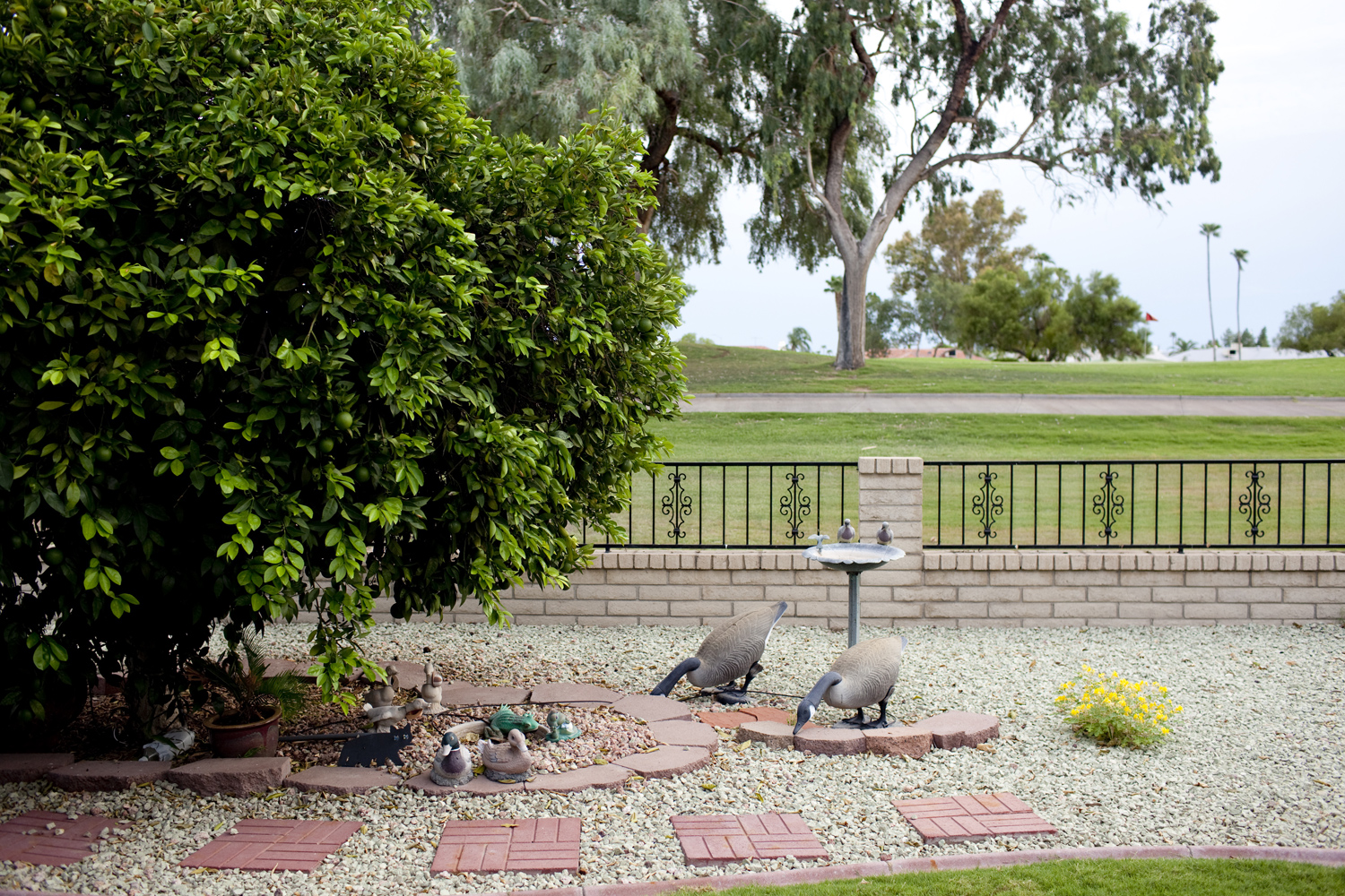 A flock of decorative geese in Faye Pitts' garden. Sun City Arizona, August 26, 2010.