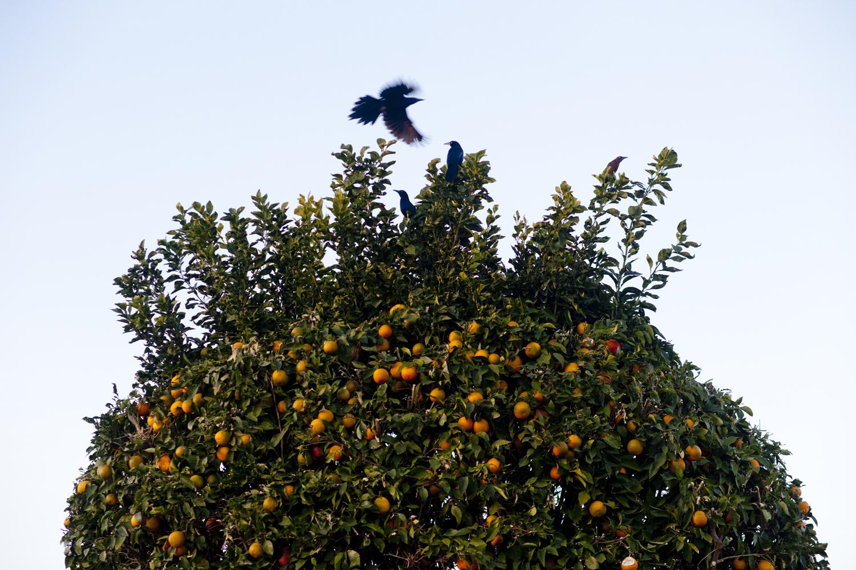 Birds in an orange tree. Sun City, Arizona December 11, 2011.