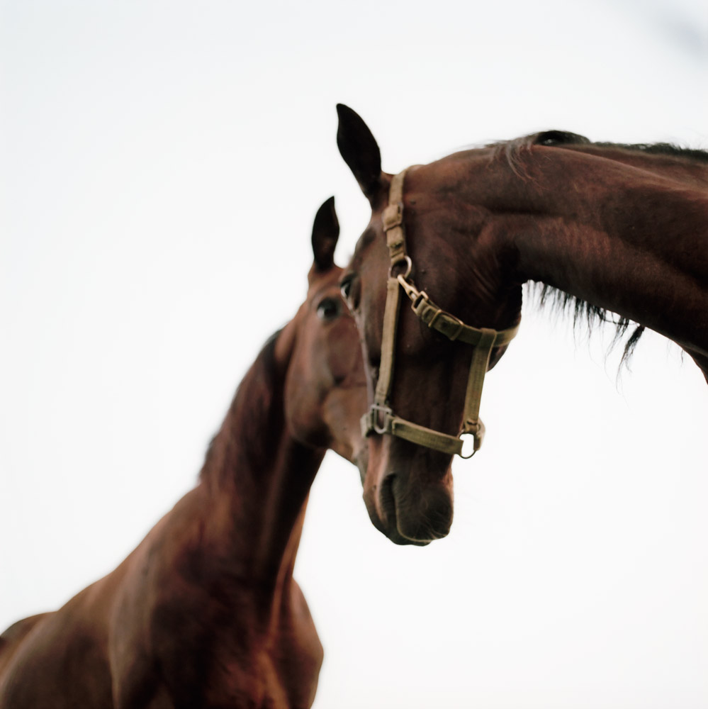 Amish Horses, 1999