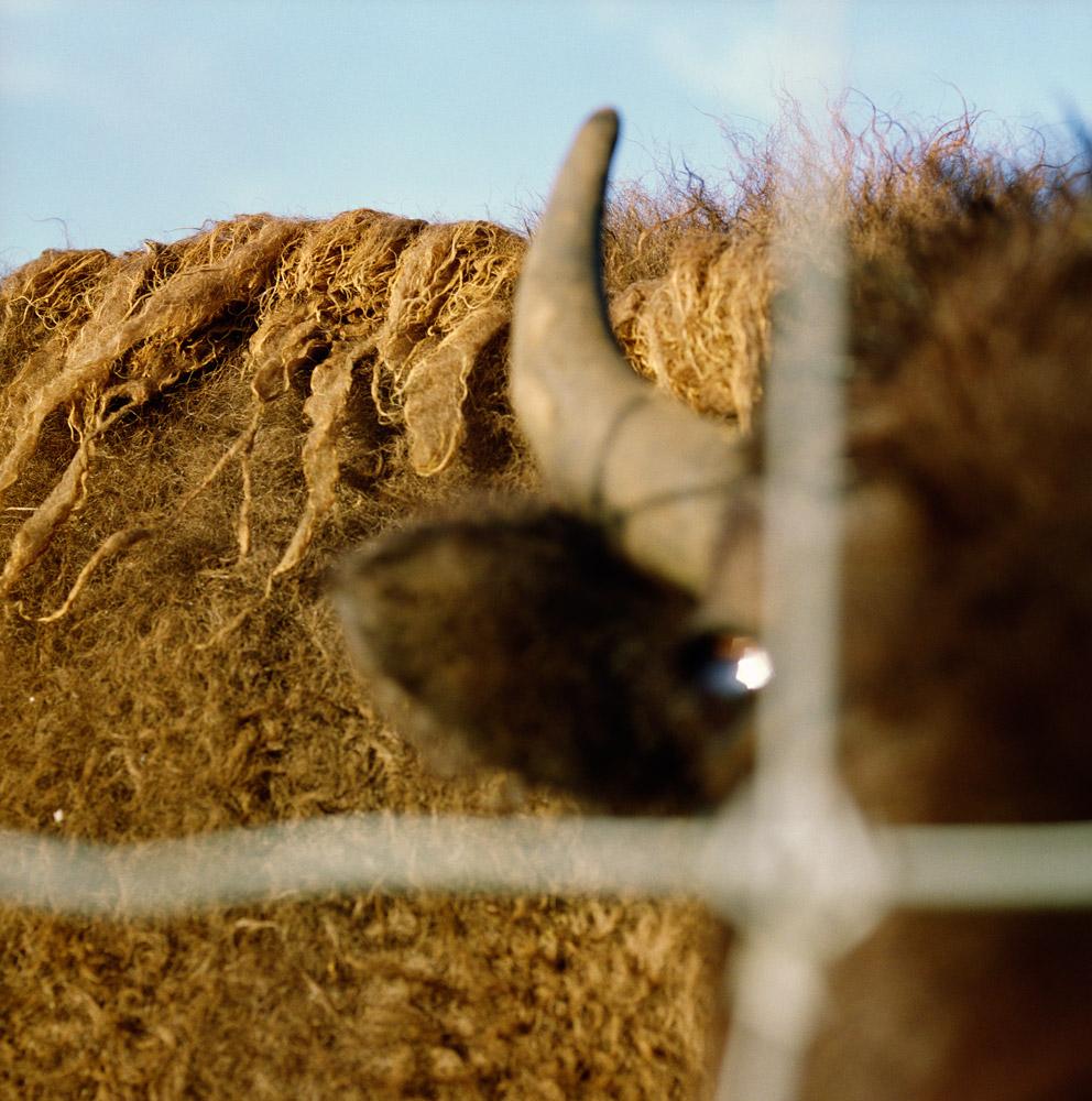 Buffalo Farm, 2008