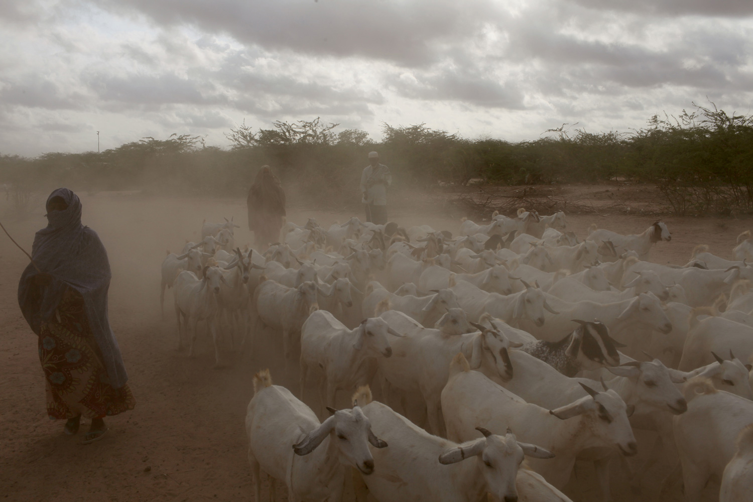 In Ifo Camp at daybreak, goat herders move their animals to market.