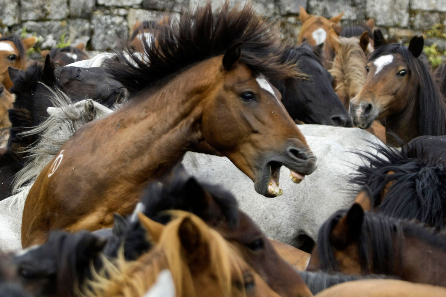 July 2, 2011. Wild horses are seen gathered during the  Rapa Das Bestas  event in the village of Sabucedo, Spain. On the first weekend of the month of July, hundreds of wild horses are rounded up, trimmed and groomed in different villages in Spain's northwestern region of Galicia.