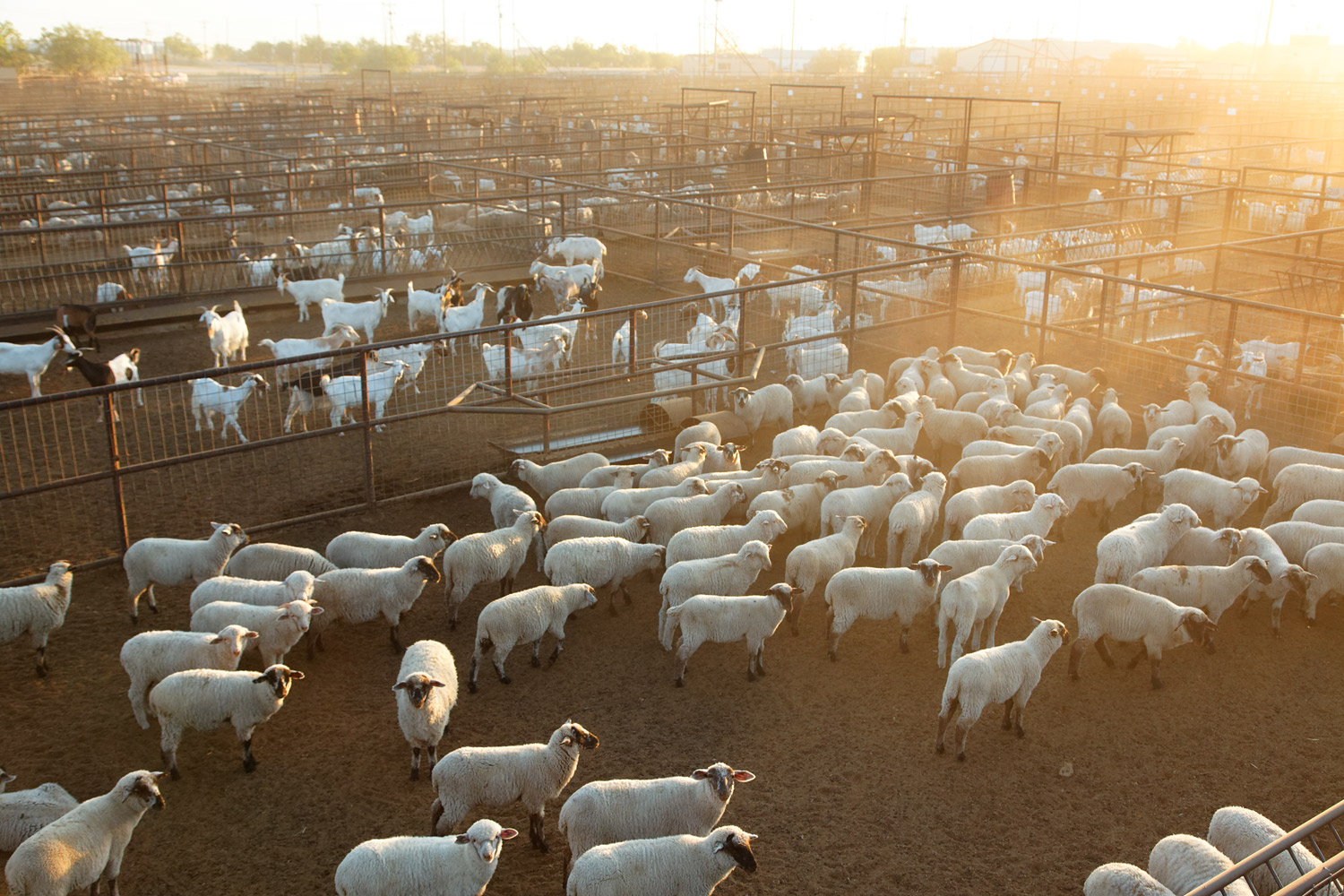 The lack of rain has made it difficult for ranchers to water their livestock, and ruined much of the region's pasturelands, forcing ranchers to sell their animals earlier than planned. These sheep and goats are heading for auction in San Angelo, Texas.
