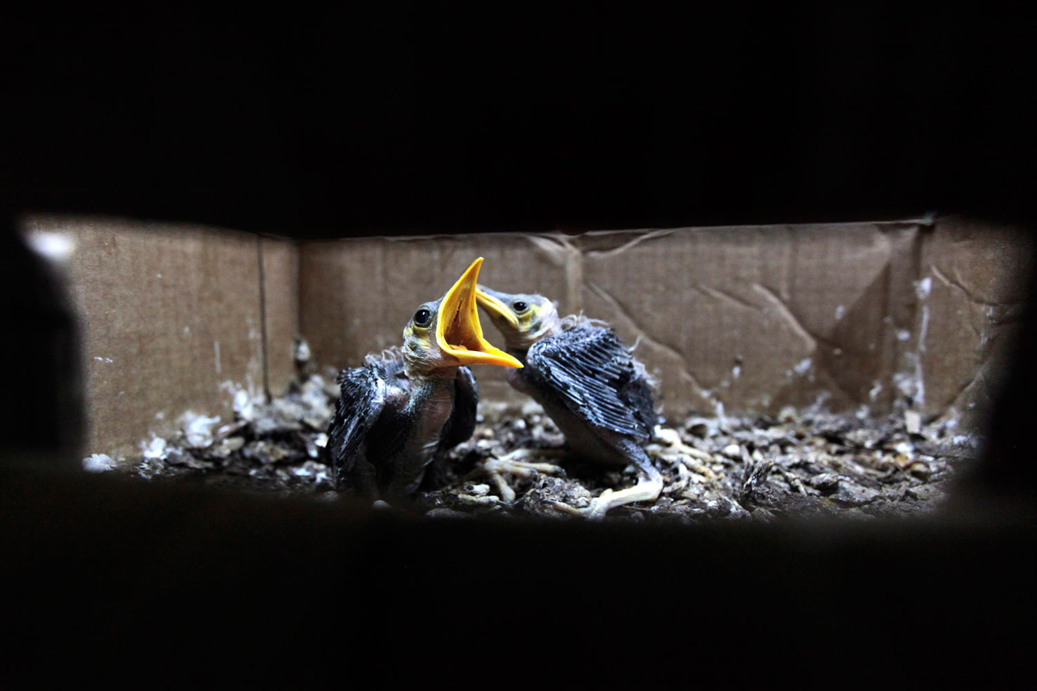 Philippine Mynas, seized from illegal traders, are seen inside a police station in Manila, Philippines on Aug.18 2011. Several endangered animal species were seized from three illegal traders in Manila.