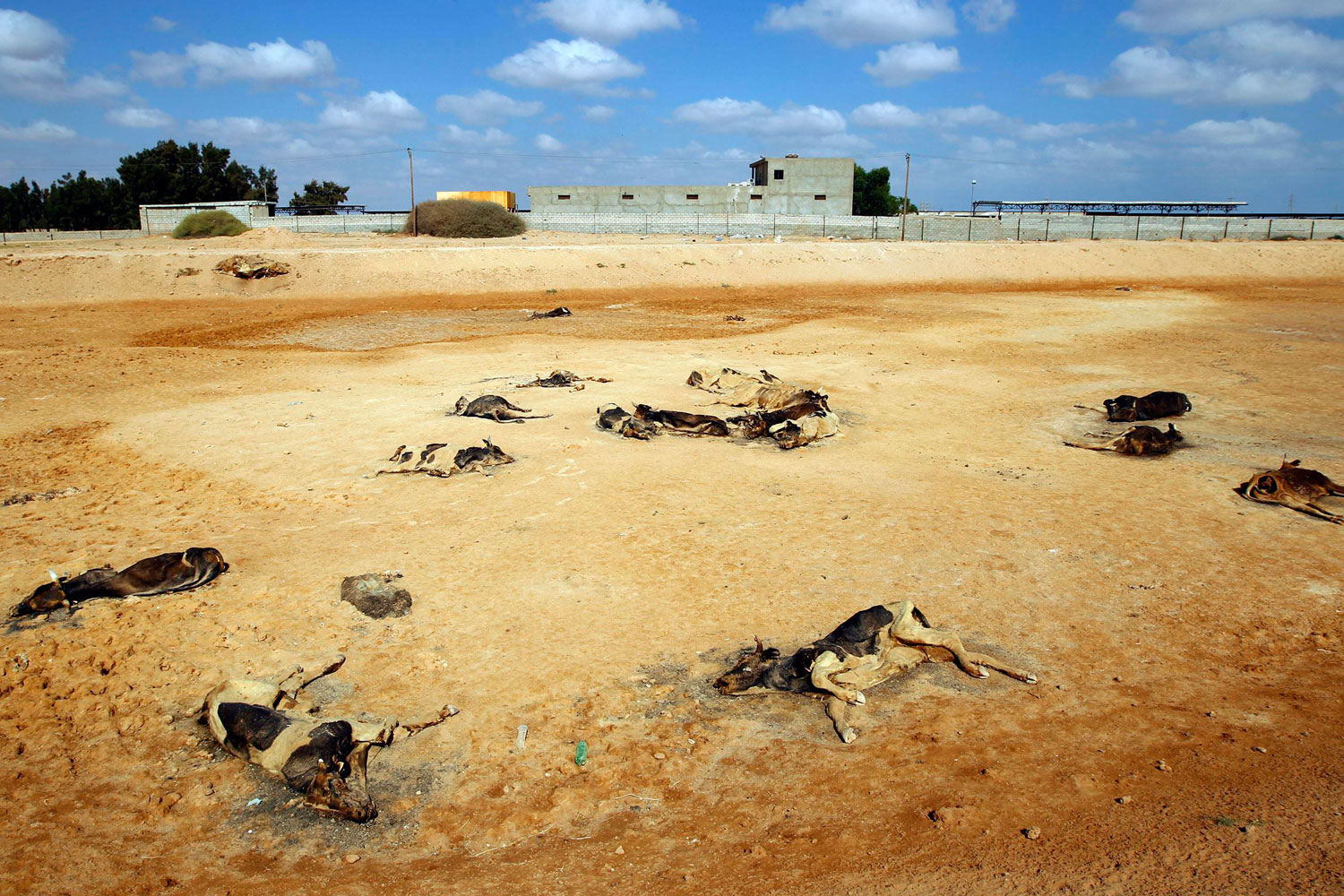 September 14, 2011. Carcasses of cows that locals say were killed by pro-Gaddafi forces are seen on the outskirts of Misrata.