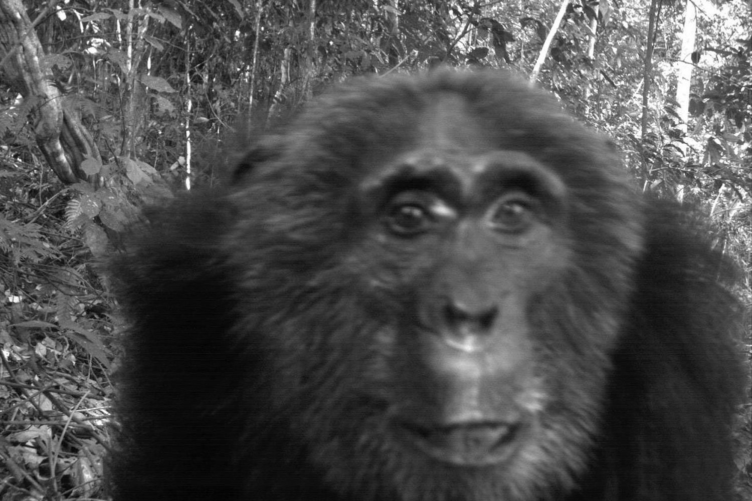 A photograph released Aug. 16, 2011 by the Wildlife Conversation Society. The image was taken as part of the first Global Camera Trap Mammal study done by The Tropical Ecology Assessment and Monitoring Network (TEAM) and shows a Pan troglodytes (Common chimpanzee) in Bwindi Impenetrable Forest, Uganda.