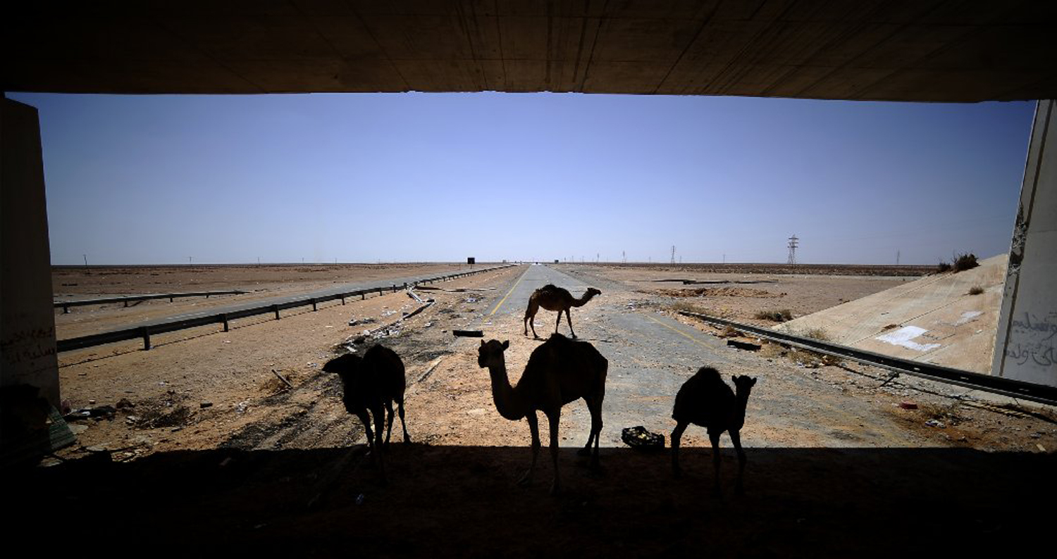 Camels stand on the motorway between Misrata and Sirt, Aug. 30, 2011. Libyan rebels were advancing towards Sirt, Gaddafi's hometown and a bastion for loyalists.