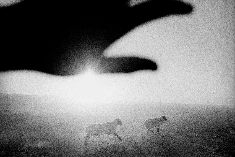 Sheep at dawn, Firebaugh, California.