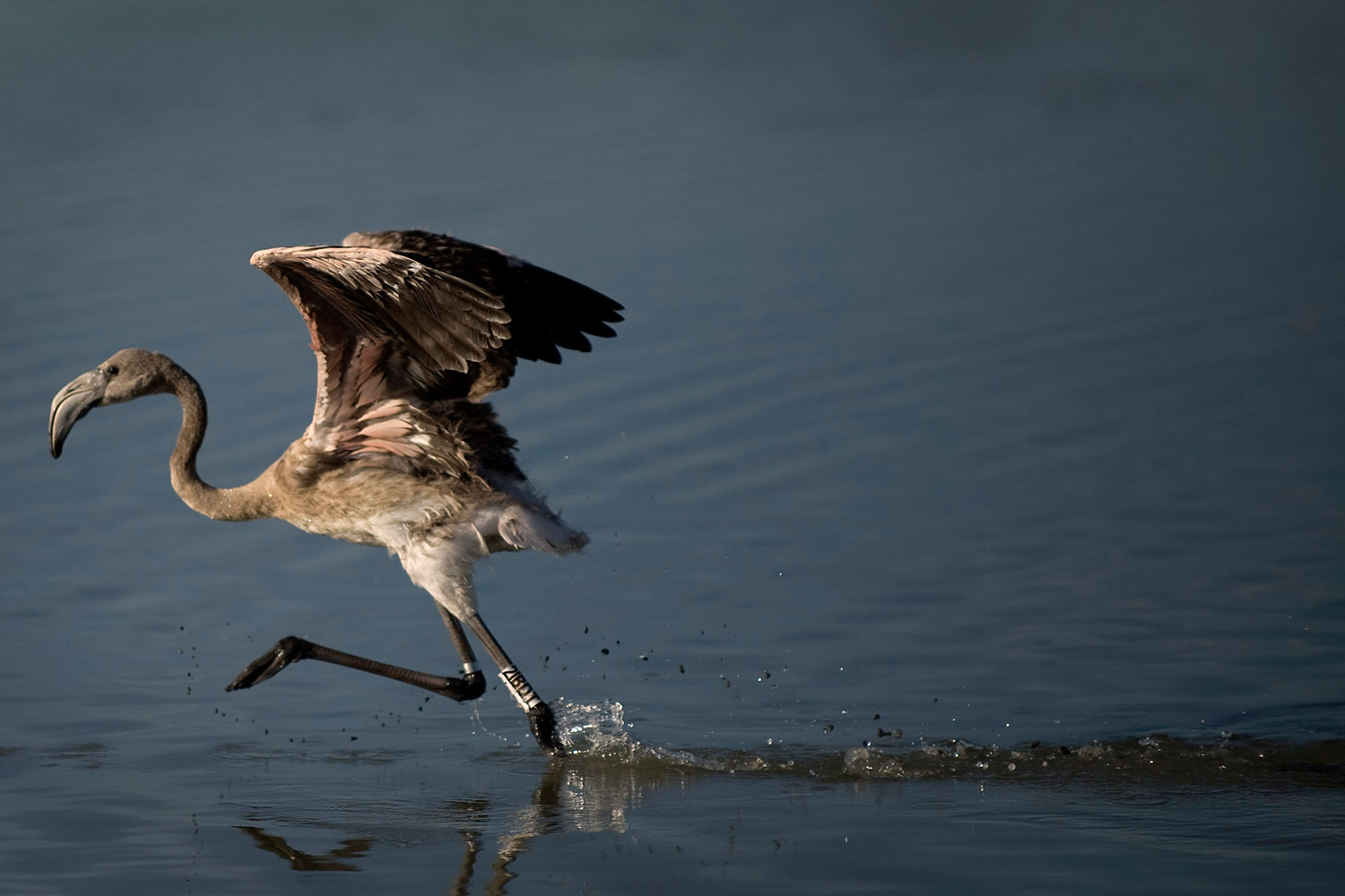 A flamingo chick runs on the Fuente de Piedra lake during a tagging and control operation to monitor the evolution of the species, Aug. 6, 2011.