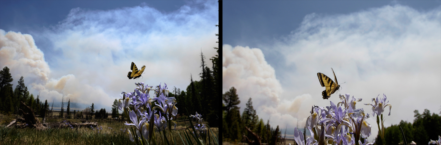 June 12, 2011.  A butterfly hovers over a flower as smoke rises around the Lee Valley Recreational area in the Apache National Forest during back burn operations as the Wallow Fire continued to burn in Big Lake, Arizona. The wild fire spread over more than 600 square miles as it crossed the border into New Mexico, destroying over twenty structures.