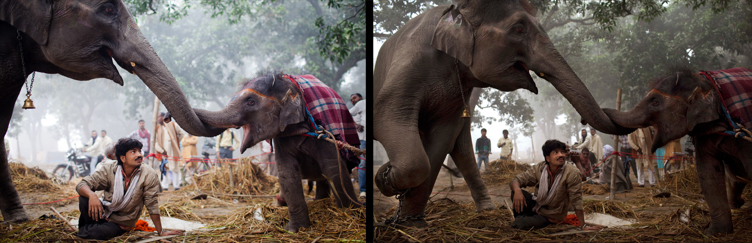 November 15, 2011. A caretaker looks on as seven-year-old elephant Laxmi rubs trunks with her daughter 13 month old Rani during the Sonepur Mela in Sonepur near Patna, India. The cattle fair, held in the Indian state of Bihar, has its origins during ancient times, when people traded elephants and horses across the auspicious river Ganges.