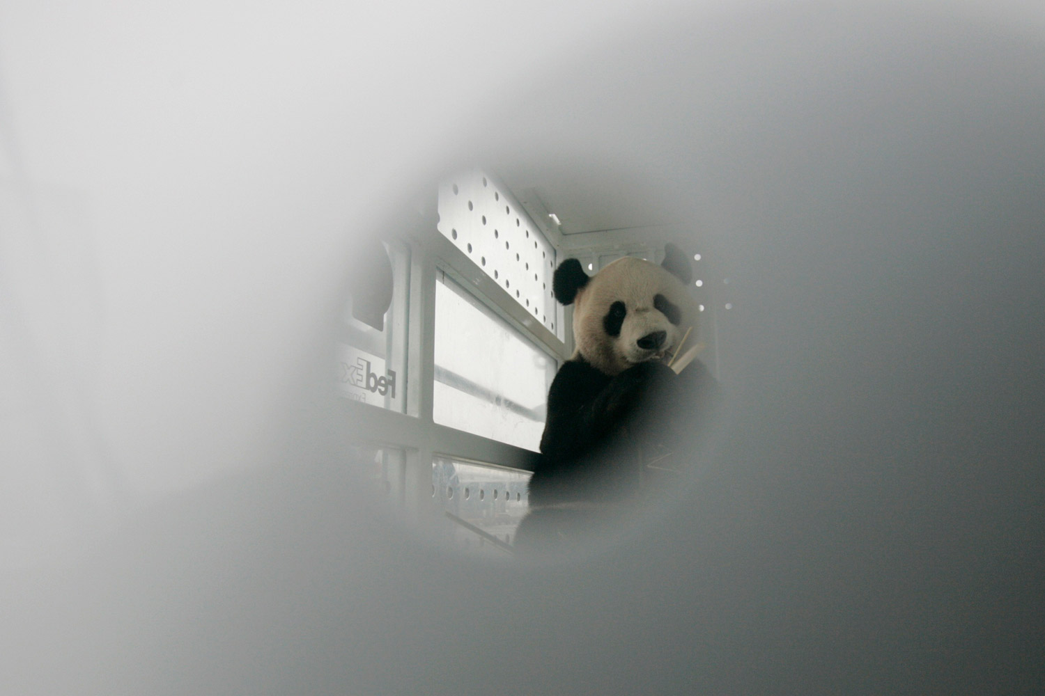 December 4, 2011. Giant panda Yang Guang is seen eating bamboo branches through a whole of a FedEx container at Chengdu Shuangliu International Airport, Sichuan province.