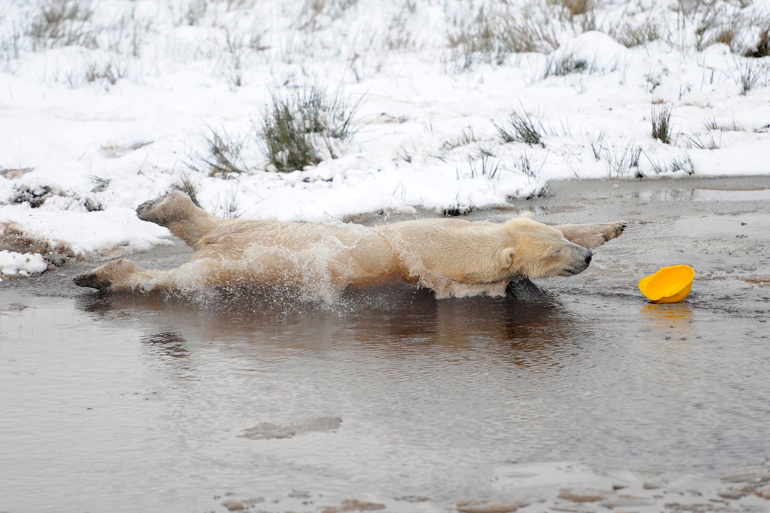 December 7, 2011. Walker, a 368 kg polar bear, chases a plastic helmet in a pond on his third birthday at the Highland Wildlife Park in Kincraig, Scotland.