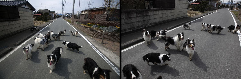 April 7, 2011. Abandoned dogs roam an empty street in the Odaka area of Minamisoma, inside the deserted evacuation zone established for the 20 kilometer radius around the Fukushima Daiichi nuclear reactors.