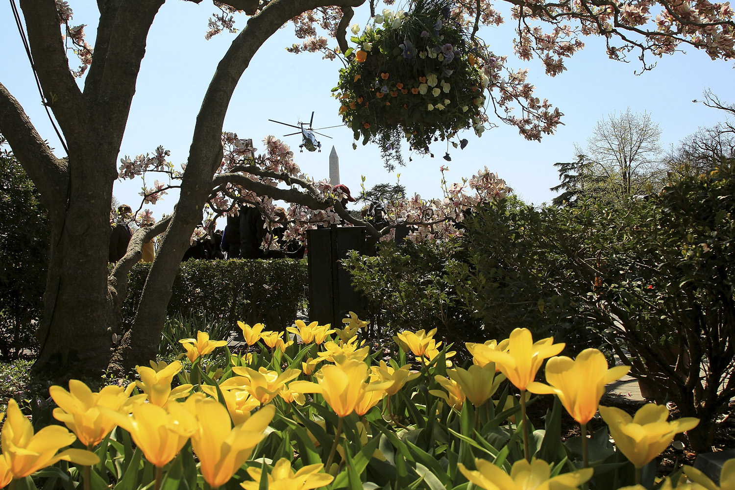 April 6, 2011. Flowers are in bloom in the Rose Garden as Marine One carrying U.S. President Barack Obama takes off from the south lawn of the White House in Washington, DC.
