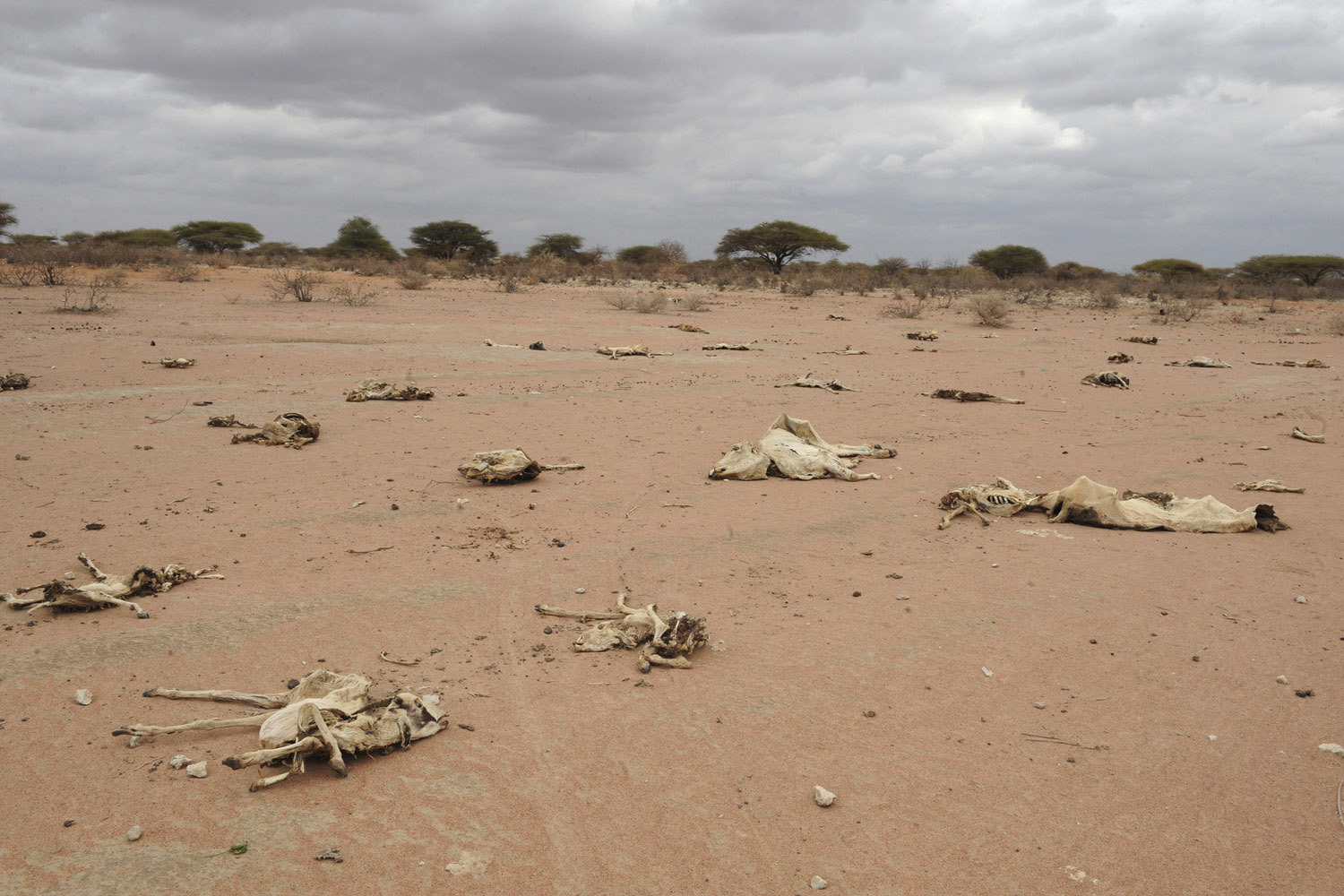July 20, 2011. Carcasses of livestock pictured in Athibohol, northeast of Nairobi. Close to 1.4 million people in the region are in dire need of relief food, as a result of the prolonged drought.