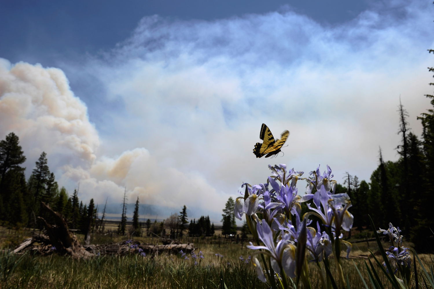 June 12, 2011. A butterfly hovers over a flower as smoke rises around the Lee Valley Recreational area in the Apache National Forest in Big Lake, Arizona.
