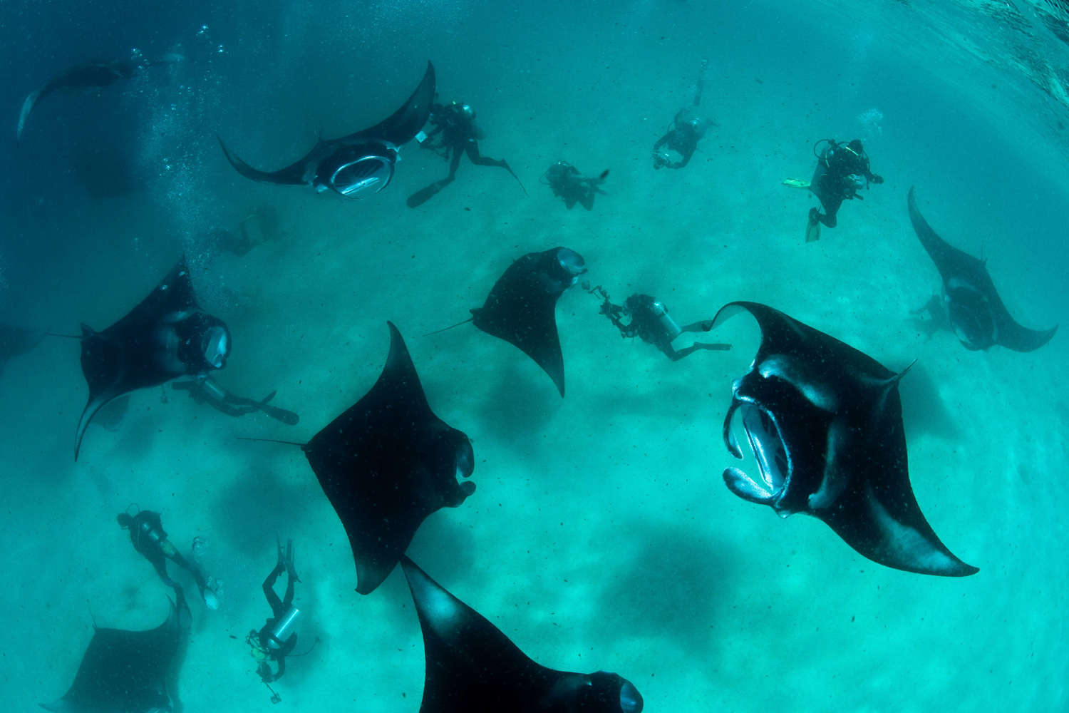 June 29, 2011. Swooping gracefully through the water like giant bats, these huge manta rays gather to feed on microscopic plankton in Manifaru Bay in the Maldives.