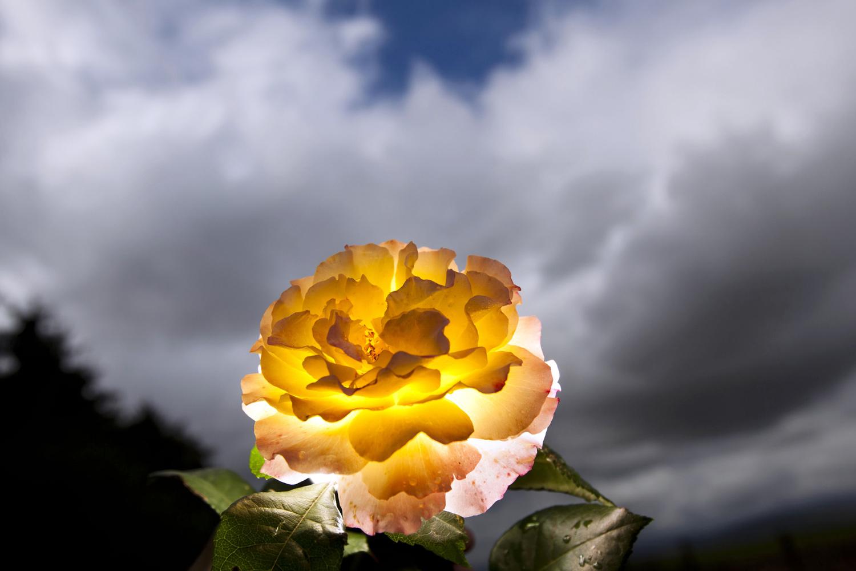 September 19, 2011. Roses bloom on a field in Bad Nauheim, Germany.