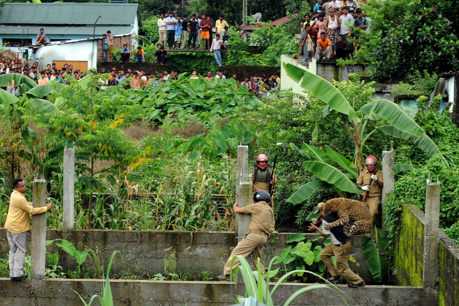 July 19, 2011. A leopard attacks a forest guard at Prakash Nagar village near Salugara on the outskirts of Siliguri. Six people were mauled by the leopard after the feline strayed into the village area before it was caught by forestry department officials.