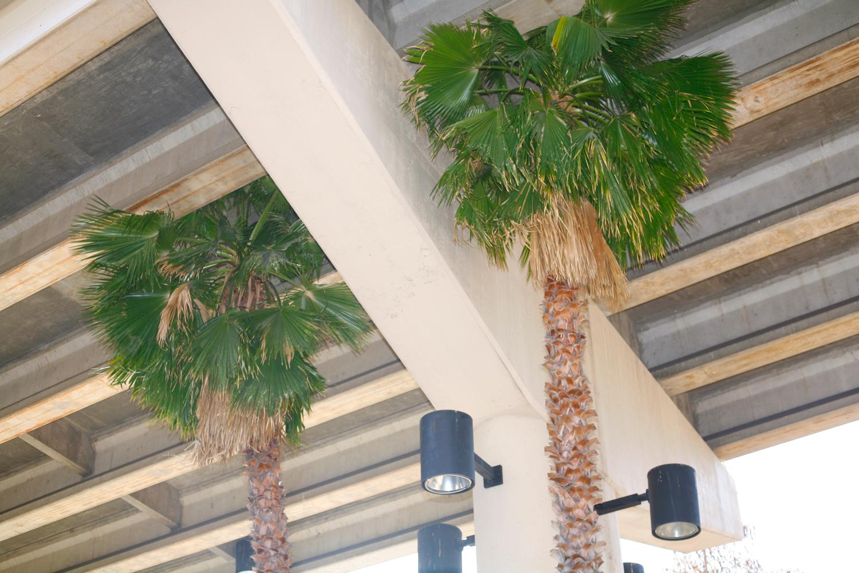 Palm trees, Tampa, Fla., January 31, 2012.
