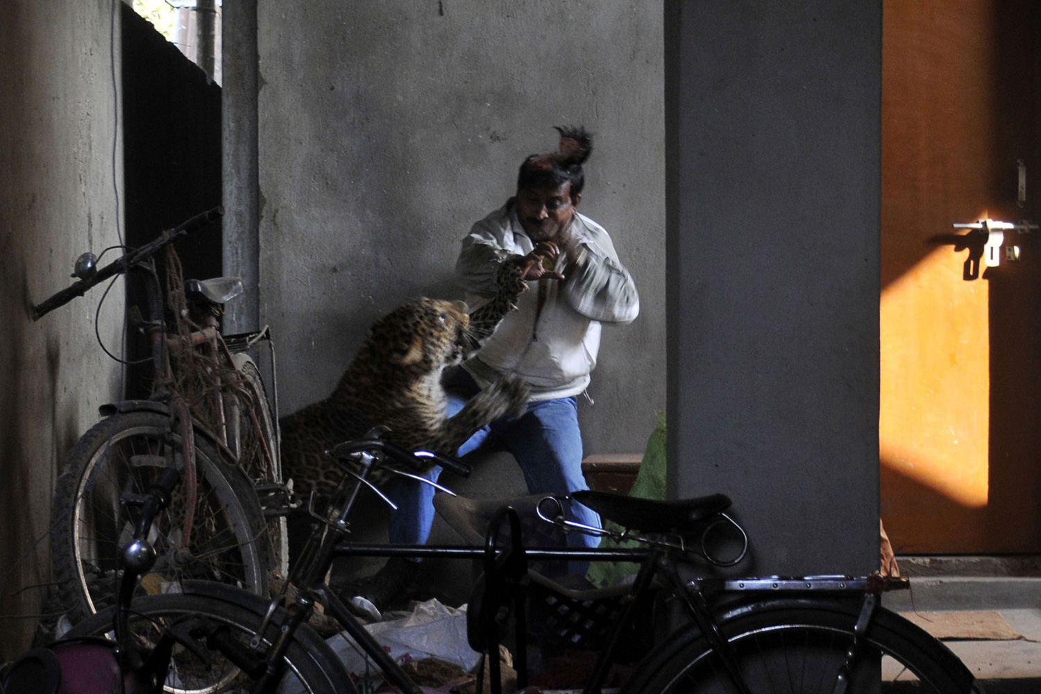 January 7, 2012. A leopard attacks and wounds a Pintu Deyan, an Indian labourer in a residential neighborhood of Silphukhuri area in Guwahati. Three people were seriously injured in the leopard attack before the feline was tranquilized and taken to Assam state zoo.