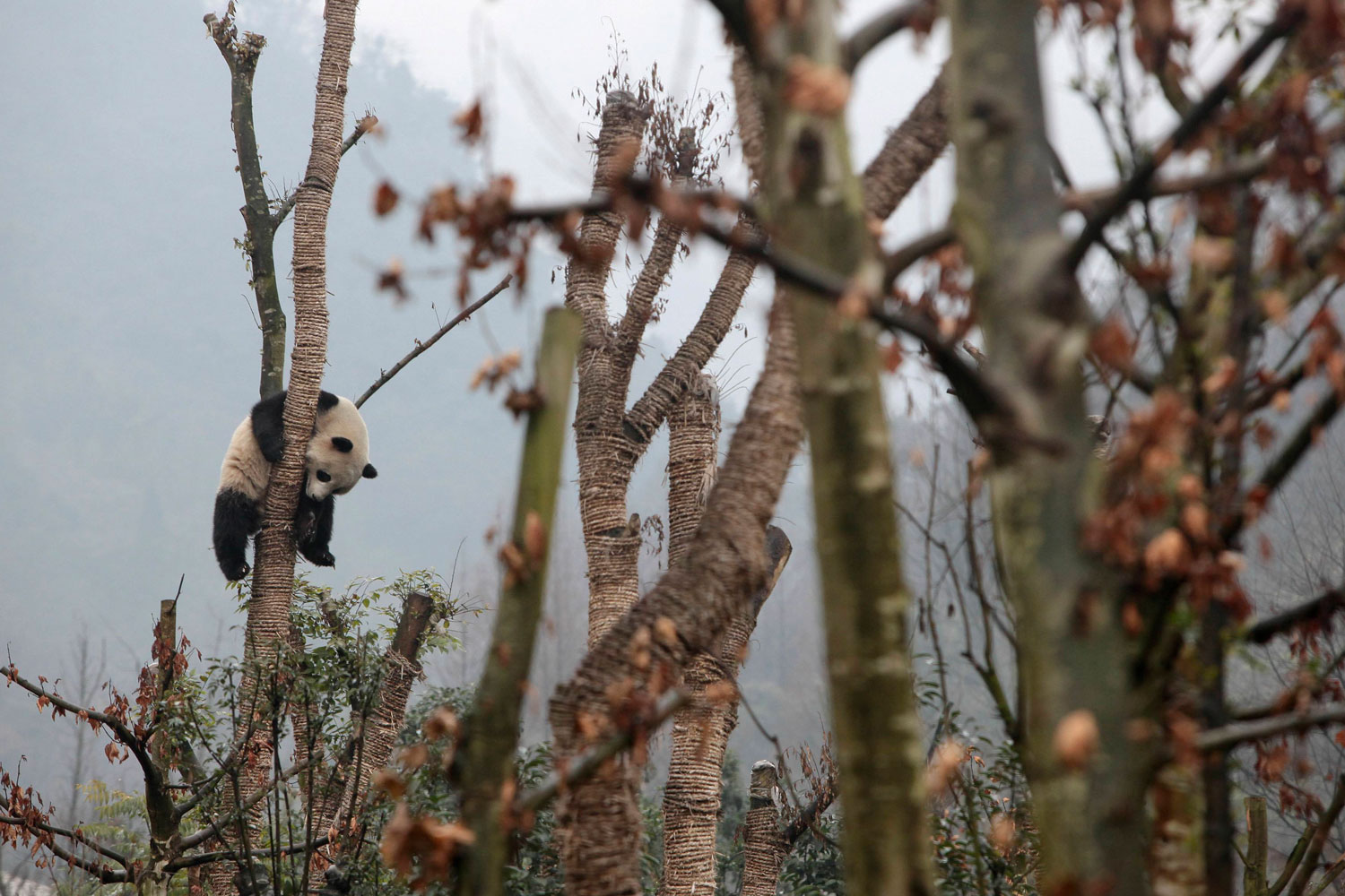 January 11, 2012. A giant panda sits in a tree at a panda breeding center in Dujiangyan, Sichuan province. The giant panda is among six young giant pandas which were bred in captivity and were released as a group of  pioneers  into an enclosed forest in Sichuan province. The release is the first step of a project aiming to help the endangered species to adapt to the wild environment and eventually survive in the wild, Xinhua News Agency reported.