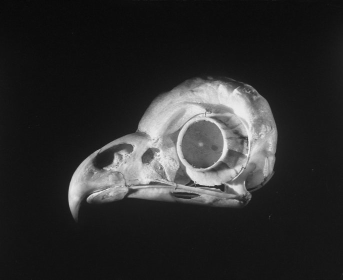 A photograph of the skull of a common owl in 1951. The prominent circular bone casing helps protect the bird's large eye.