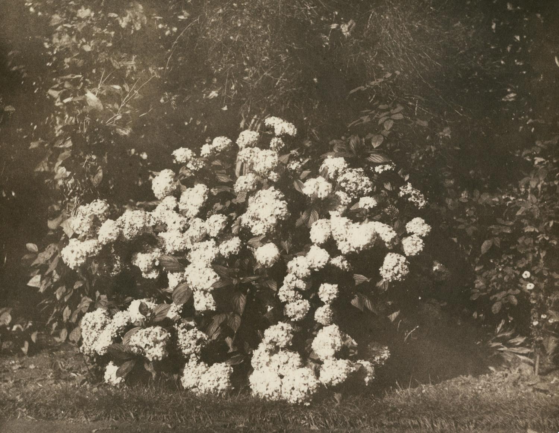 A Bush of Hydrangea in Flower, salt print from a calotype negative, UK, c1842