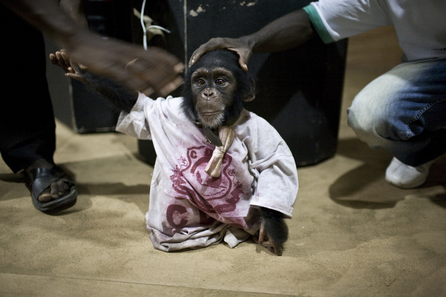 The presidential campaign drew heavily on images of primates, animals that are often anthropomorphized in Liberian culture. Liberia's opposition party, Congress for Democratic Change (CDC), embraced chimpanzees and other animals as their mascots. Here, a chimp is dressed in an opposition T-shirt and a bow tie.