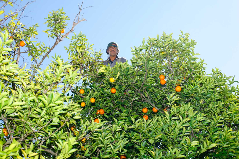 A worker in an orange grove, Mt. Dora, Fla., January 29, 2012.