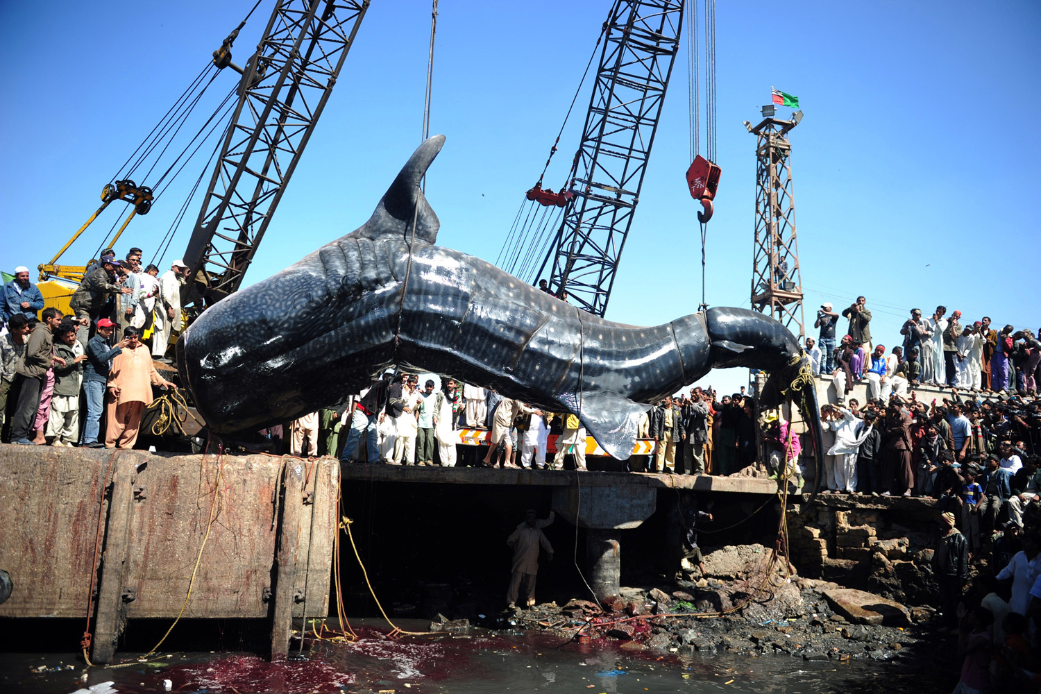 February 7, 2012. Pakistani fishermen use cranes to pull the carcass of a whale shark from the waters at a fish harbour in Karachi. The 40-feet whale, weighing about 6 tons, was found dead in the Arabian Sea.
