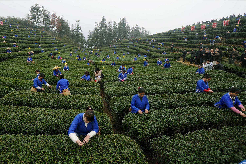 Feb. 27, 2012. Tea farmers of the Dong ethnic group pick spring tea in Buyang Village of Sanjiang Dong Autonomous County, southwest China's Guangxi Zhuang Autonomous Region.