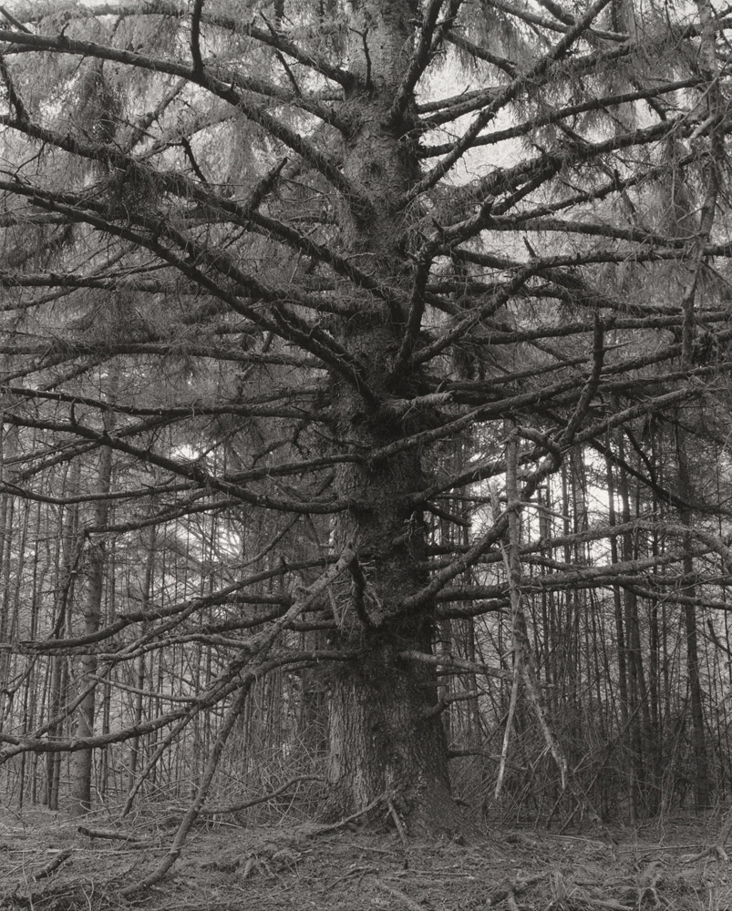 Sitka spruce, Cape Blanco State Park, Curry County, Oregon, 1999-2003