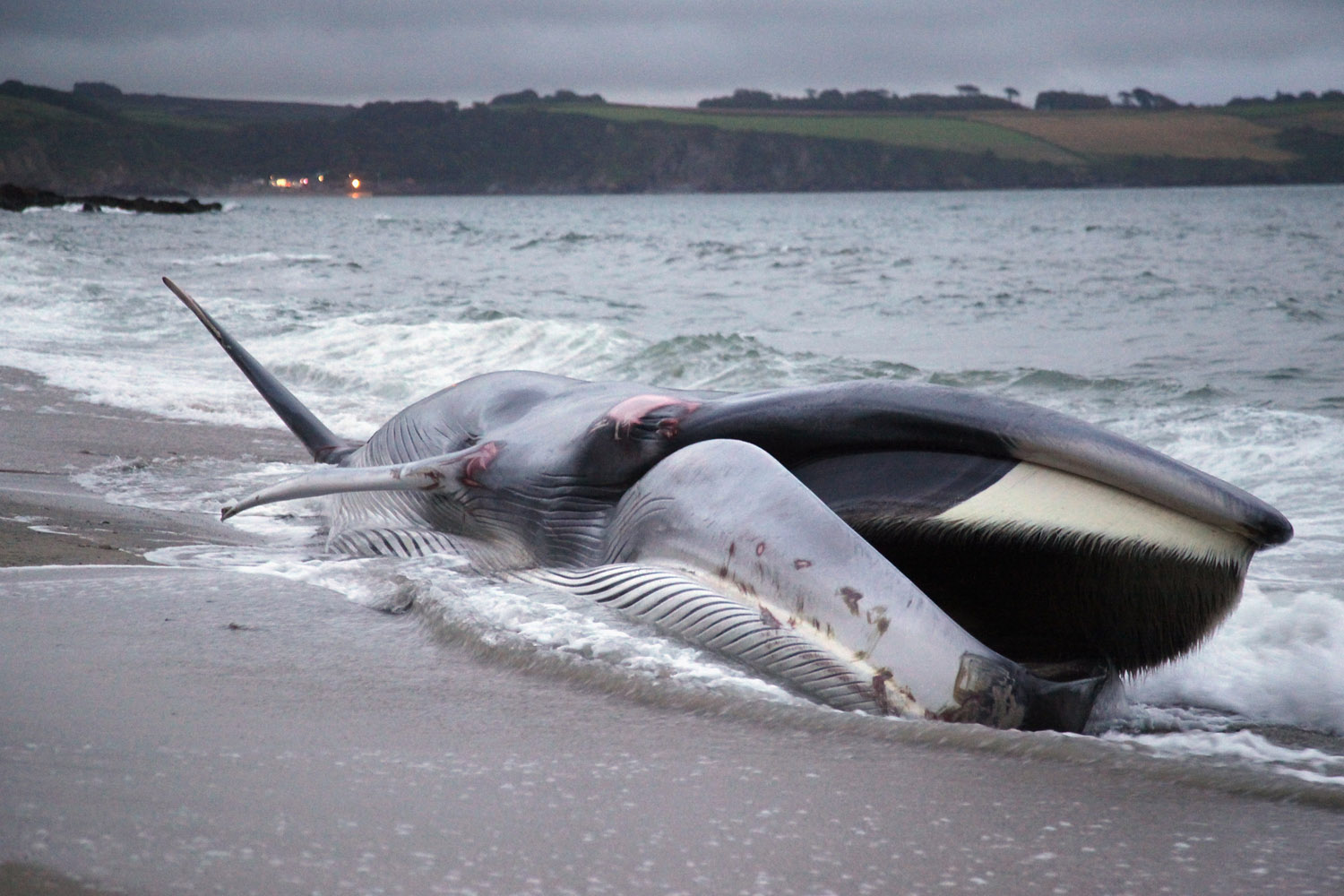 Aug. 13, 2012. A female fin whale opens its mouth as it lies stranded and alive on the beach at Carlyon Bay on in St Austell, England.
