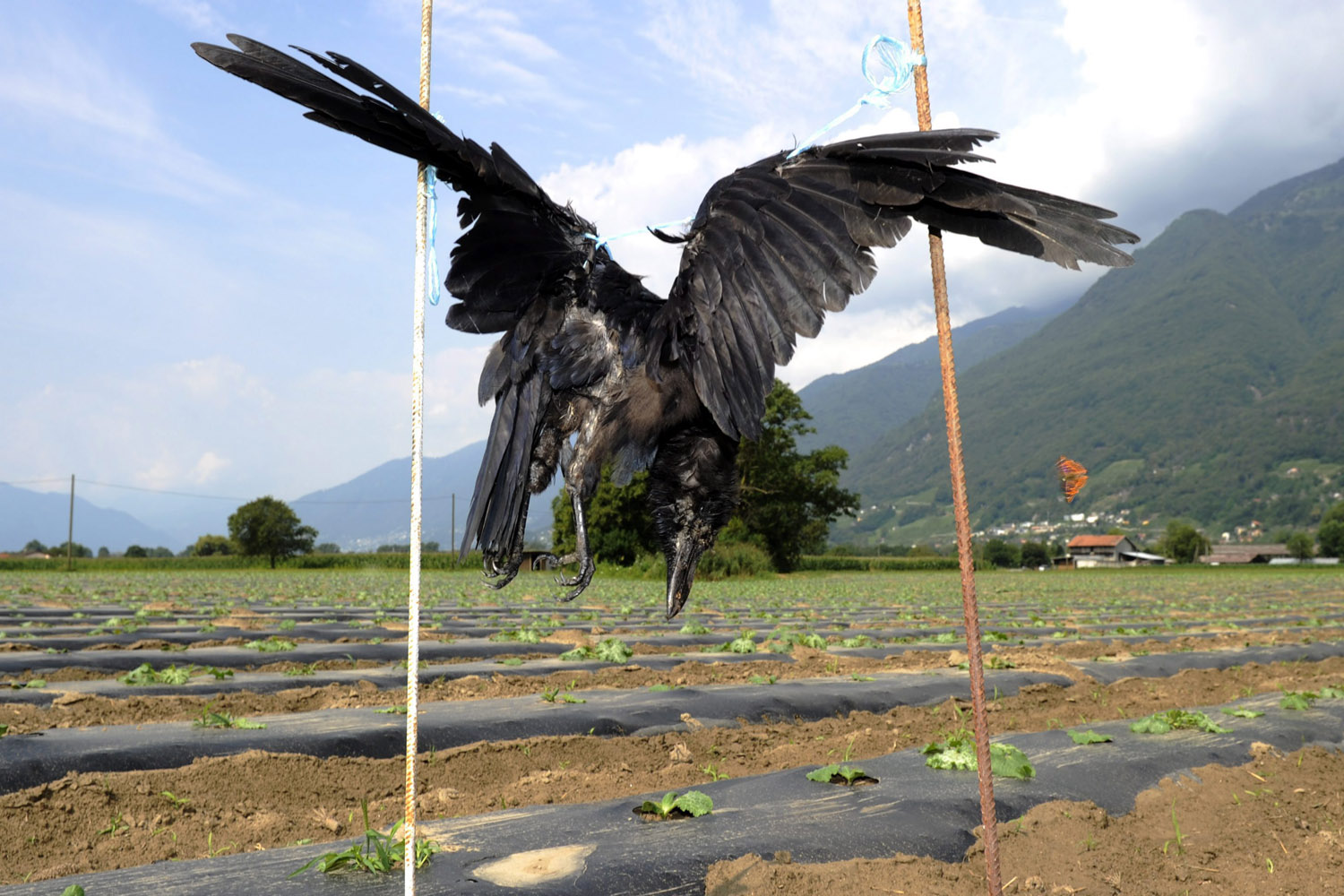 Aug. 14, 2012. A dead crow hangs from two sticks in a vegetable field at the Magadino plane, southern Switzerland. Vegetable farmers have hung up ten dead crows to scare off other hungry birds.