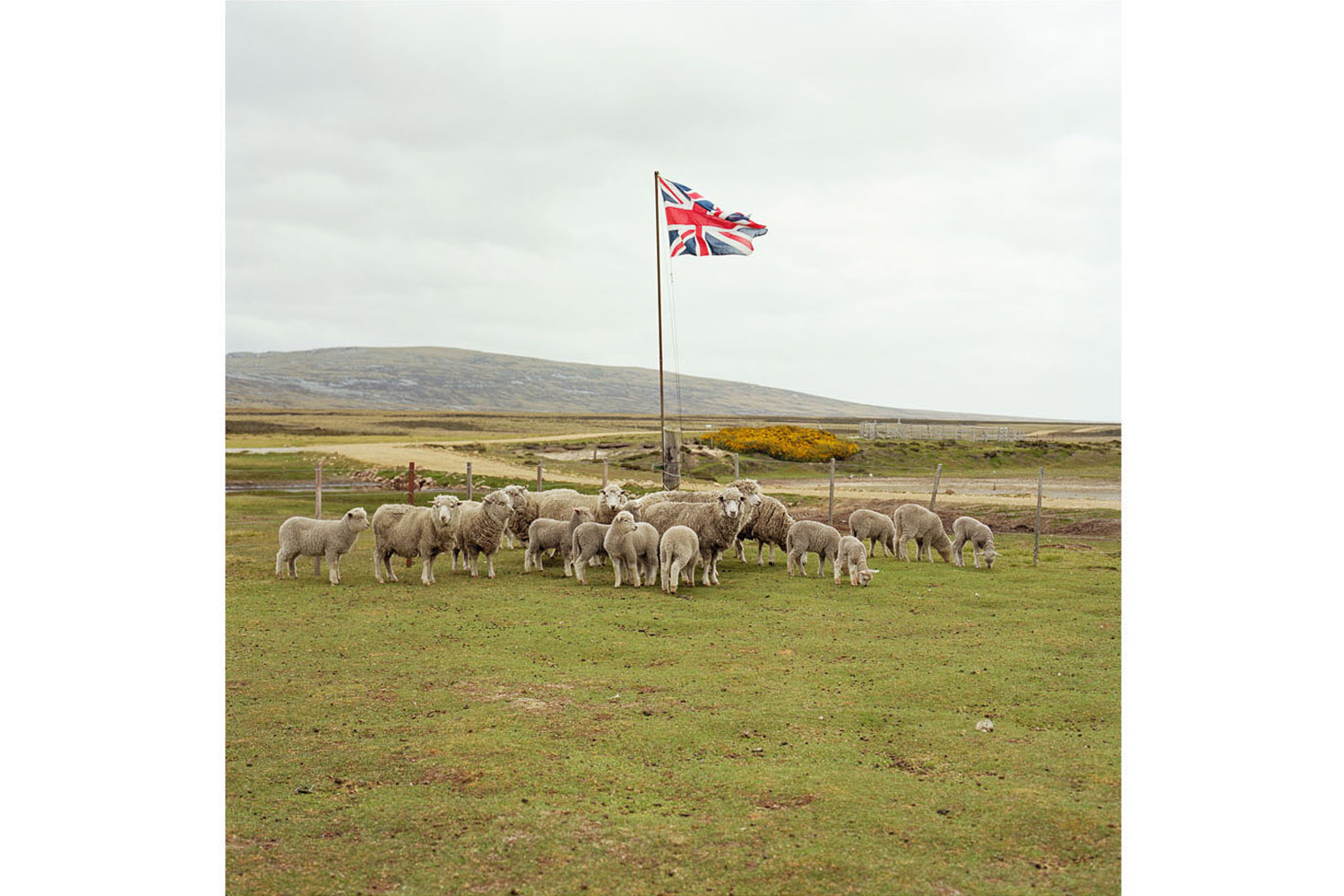 Sheep wait to be shorn while standing under the Union Jack flag, Long Island Farm, East Falkland, Falkland Islands. Farmland on the Falklands extends to well over 1 million hectares, carrying approximately 600,000 sheep. Before 1979 there were 36 farms in the Islands, with wealthy owners living back in the UK. As a result of Government policy, the land was split up to create a total of 88 individual smaller farms, and are mostly run as family units.