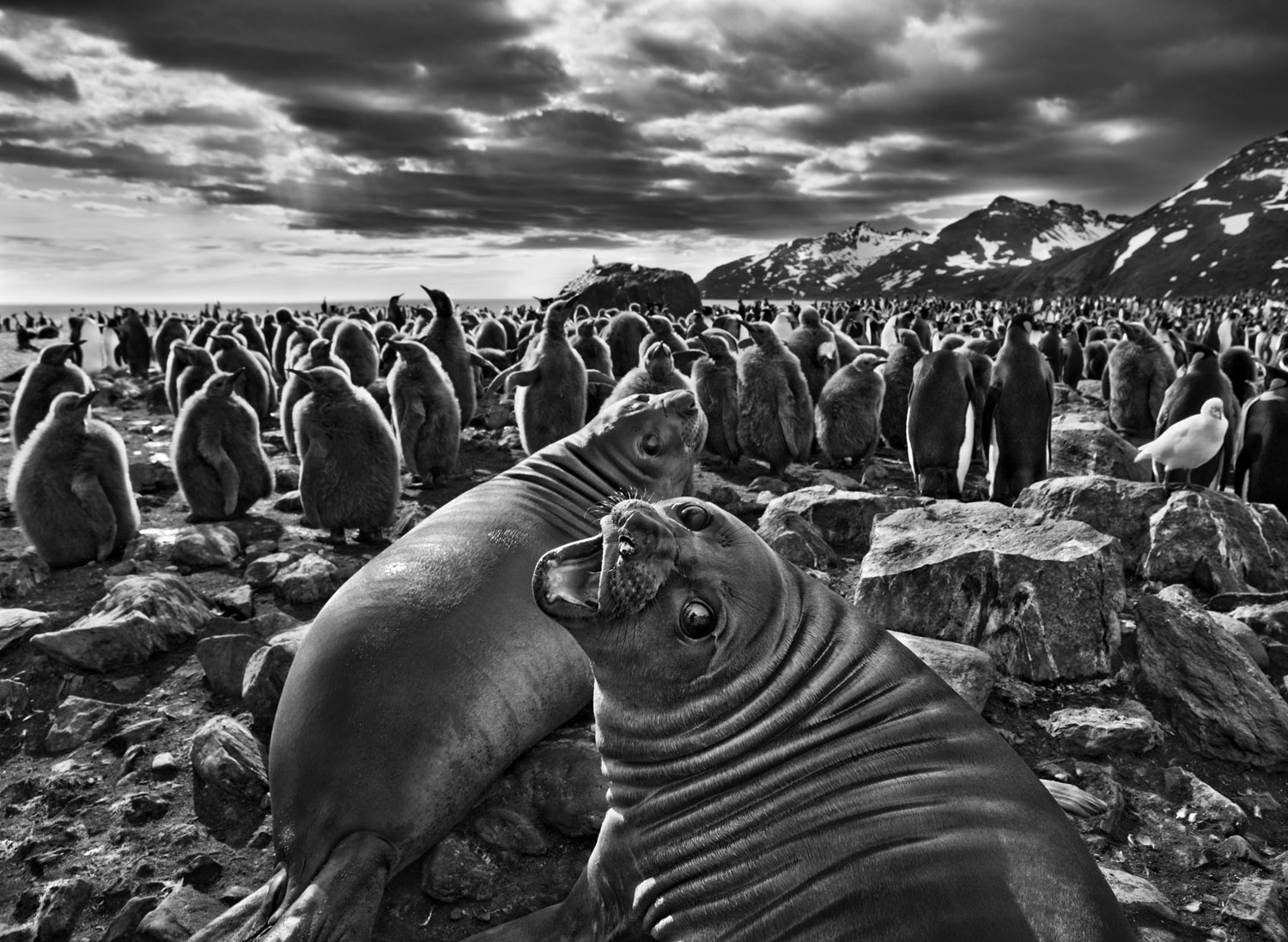 """On South Georgia, a barren island in the far South Atlantic, a pair of southern elephant seal calves beckon before a colony of king penguins. """"The male seals can grow to almost five tons,"""" says Salgado, """"butthese are just babies. This one looked at mewith beautiful eyes."""""""