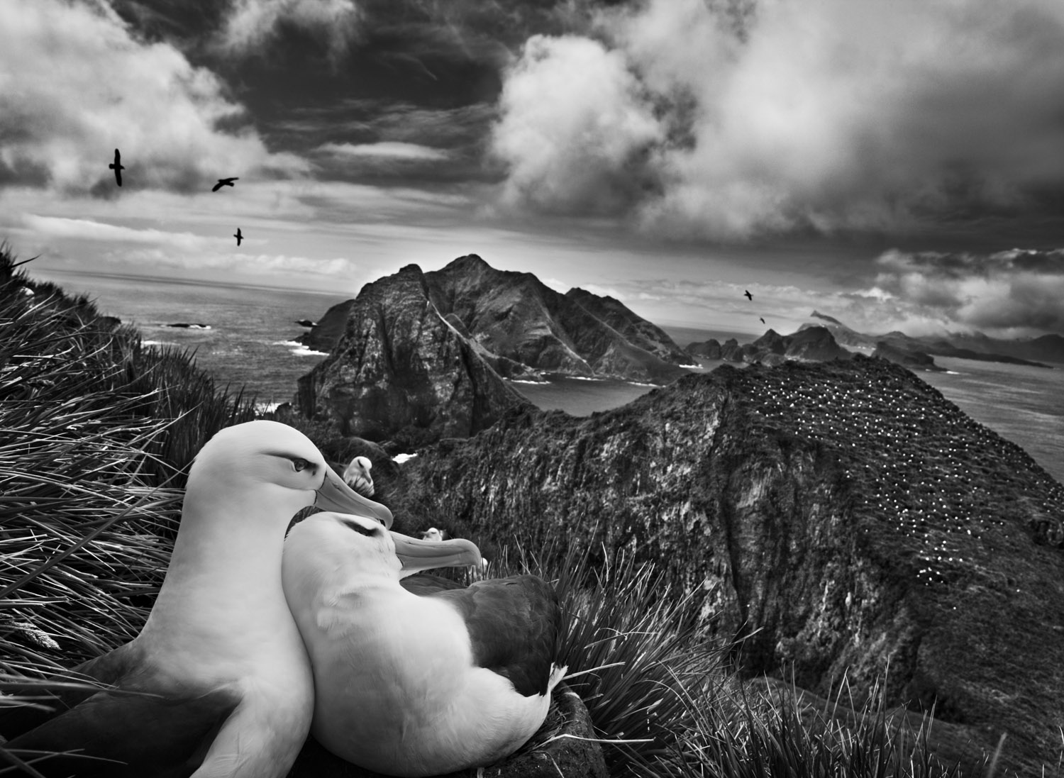 Two black-browed albatrosses nestle while overlooking the Willis Islands near South Georgia, in the far South Atlantic.