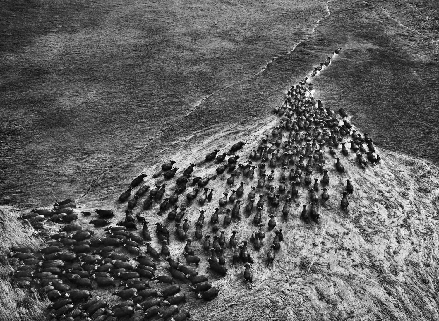 """Salgado photographed these buffalo at Kafue National Park in Zambia from a balloon. """"When you come with planes or helicopters you scatter the animals,"""" he says. """"With a balloon you can come within two or three meters of an animal and even use a tripod, because it's so quiet."""""""