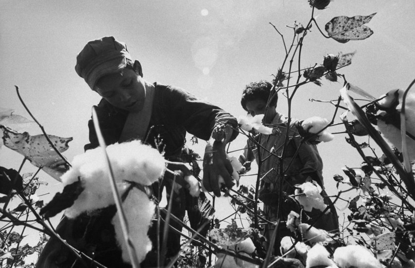 Child migrant farm laborer harvesting cotton, Rio Grande Valley, Texas, 1959.