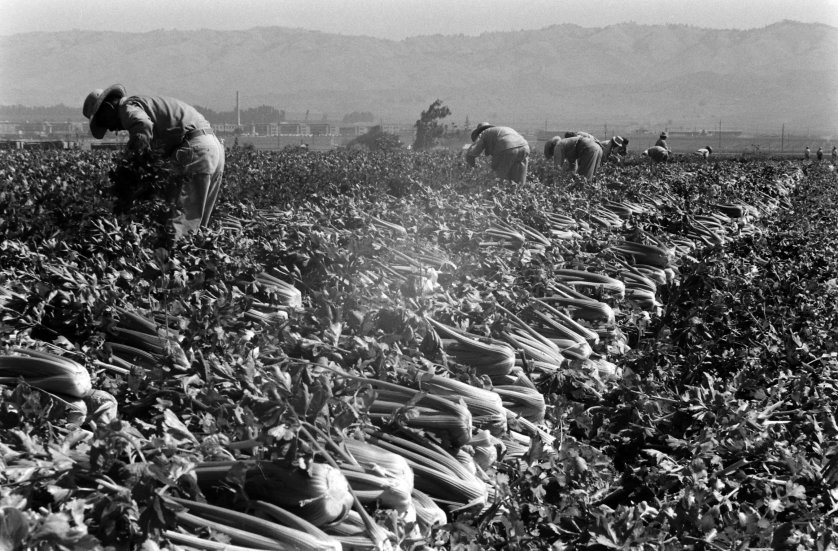 Celery harvest, California, 1959.