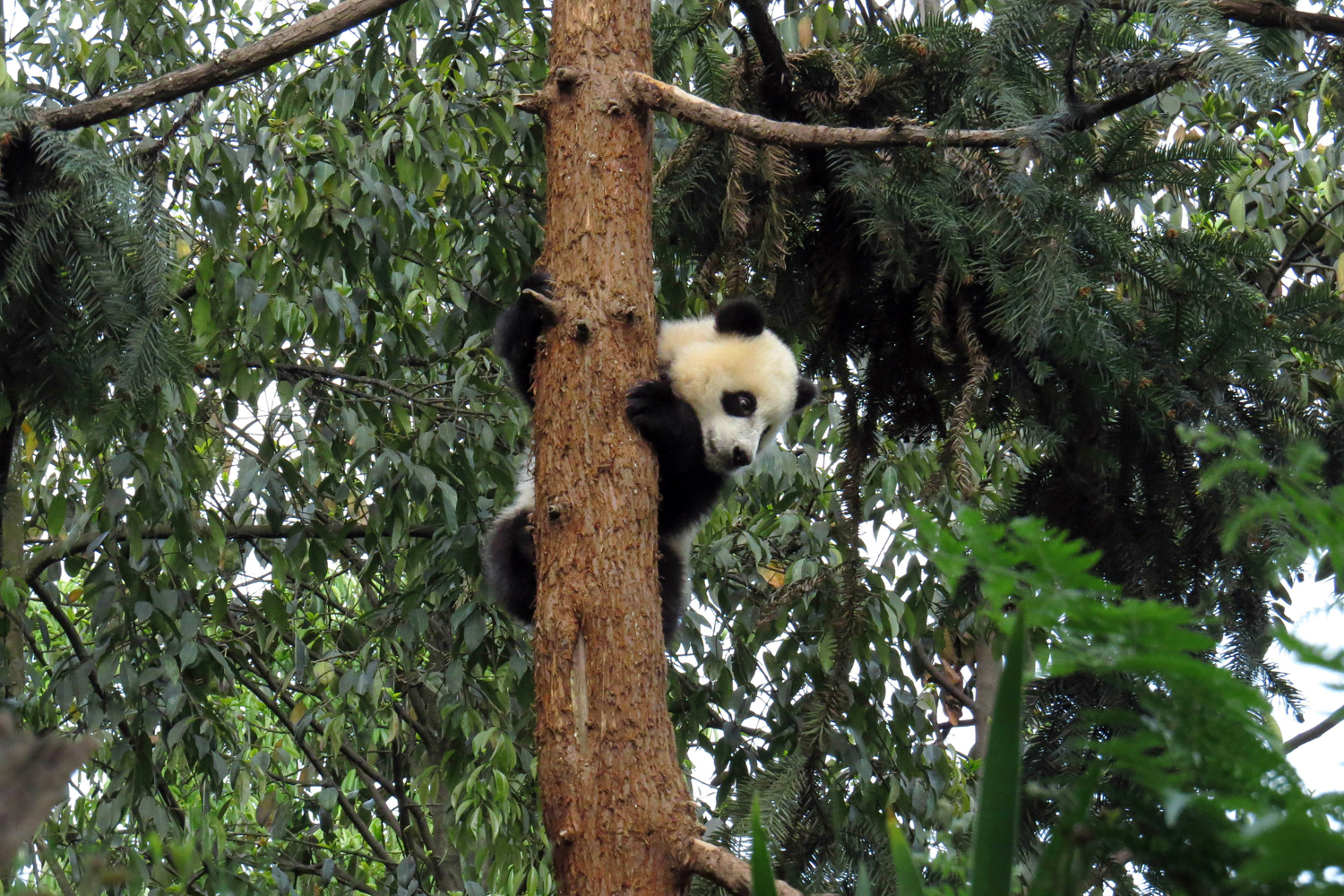 April 20, 2013. A giant panda climbs a tree in the Bifengxia Base of China Conservation and Research Centre for the giant panda after a magnitude 7.0 earthquake hit the city of Ya'an, southwest China's Sichuan province.