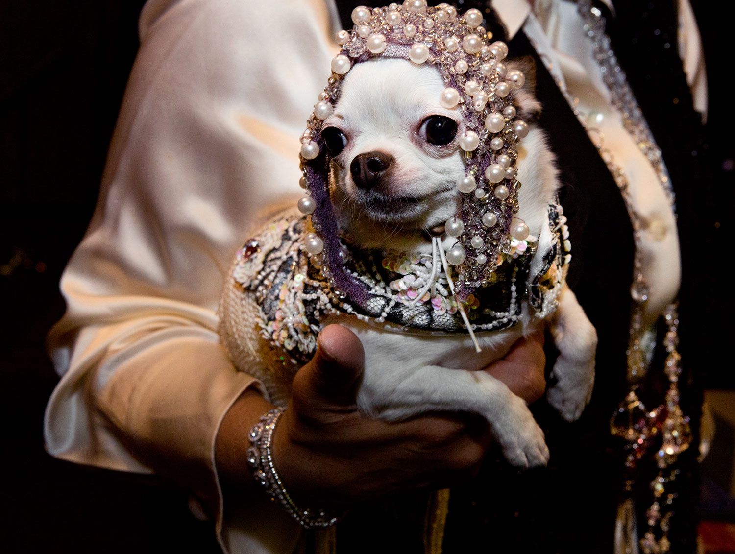 Loudin, a Chihuahua, companion to Ninoska Viaggiano, at the Roaring Twenties Pet Fashion Show presented by Tropiclean and hosted by The Hotel Pennsylvania.