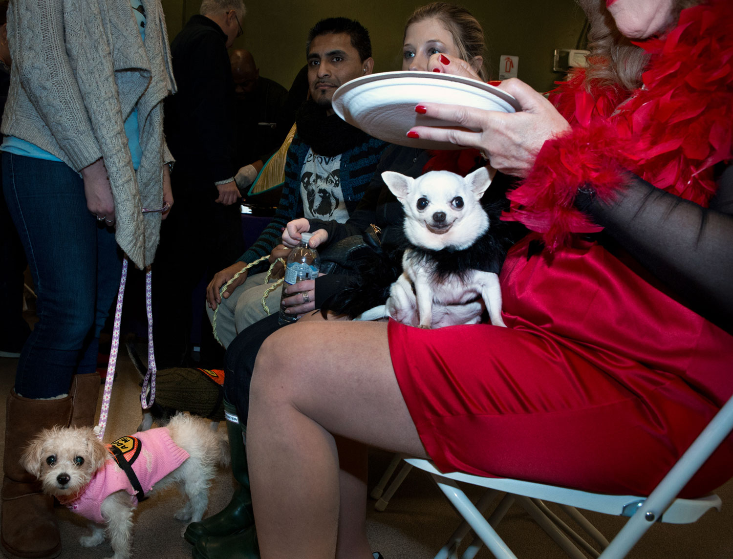 Aspen, a Chihuahua, companion to Terry St. Anglo, at the Couture Paws For a Cause Brunch, a benefit hosted by Celebrity Catwalk.