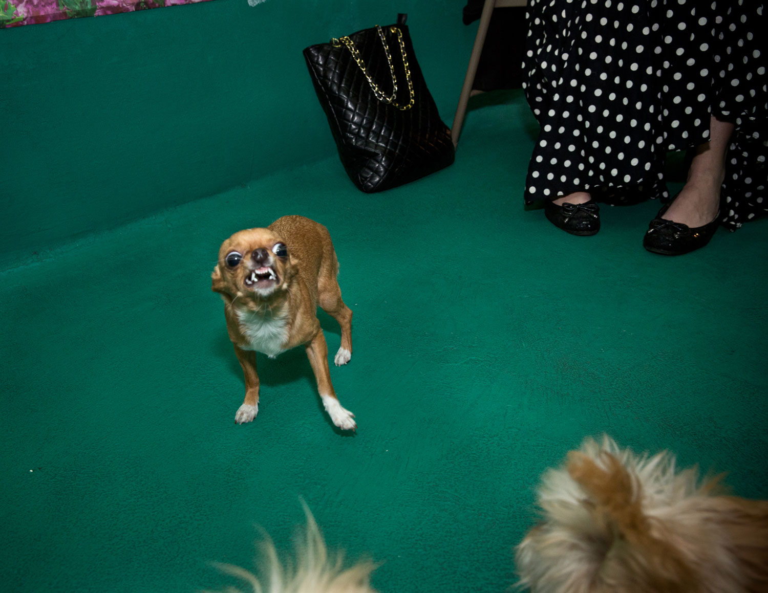 Carmen, a Chihuahua, at Doggie Do & Playtime Too's Cinco de Mayo Celebration to Benefit K9Kastle.