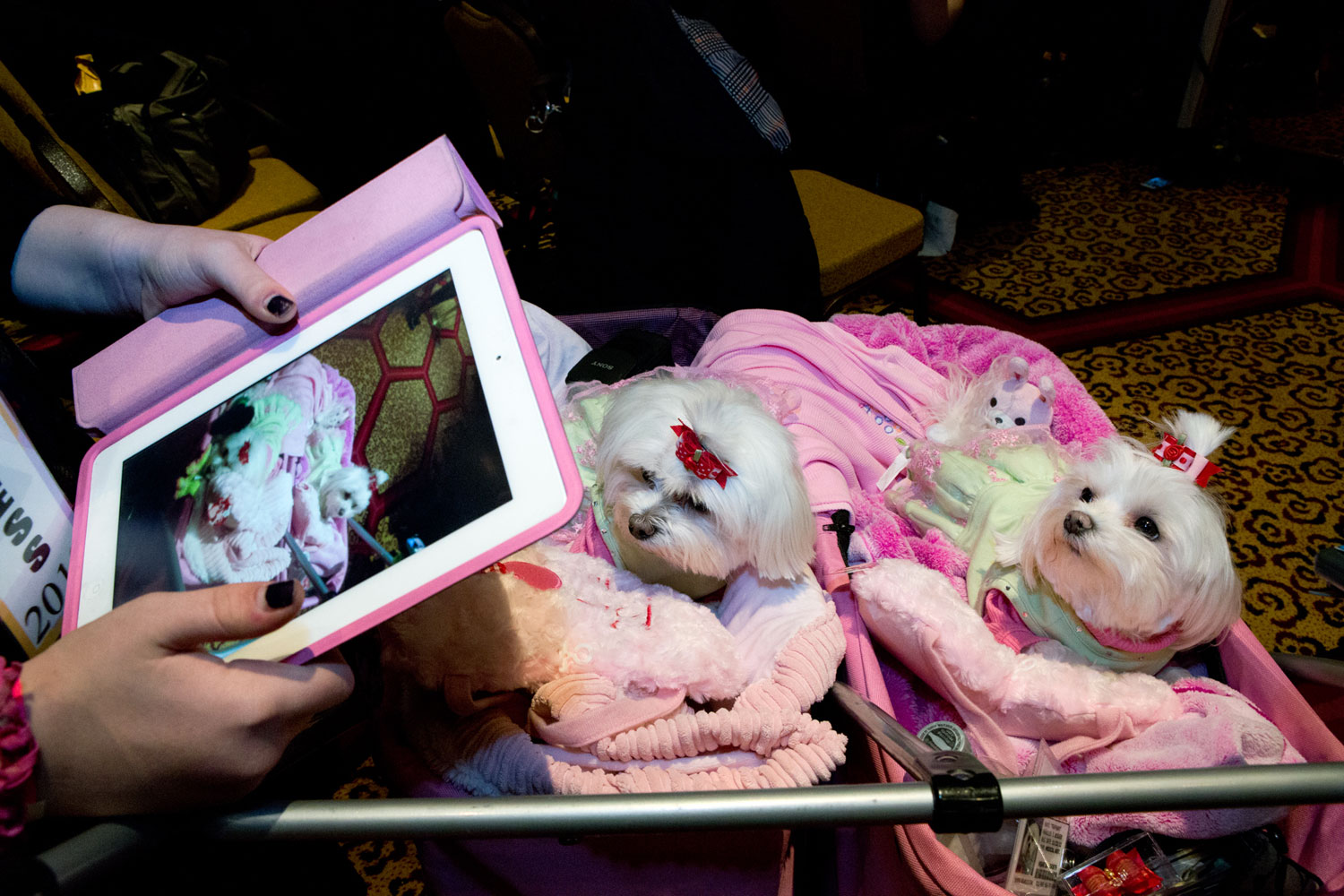 Taffany and Mia, Maltese companions to Tamber Hunter, at the NYC Doggies and Tiaras Pageant 2013 at the New Yorker Hotel, held to benefit the Inky Blue Sea Animal Rescue group.