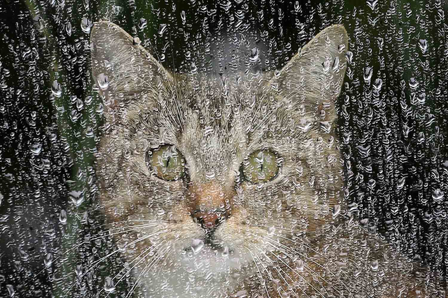May 31, 2013. A cat sits behind a window covered in raindrops in Berlin. Meteorologists forecast further rainfalls for the following days in wide parts of the country.