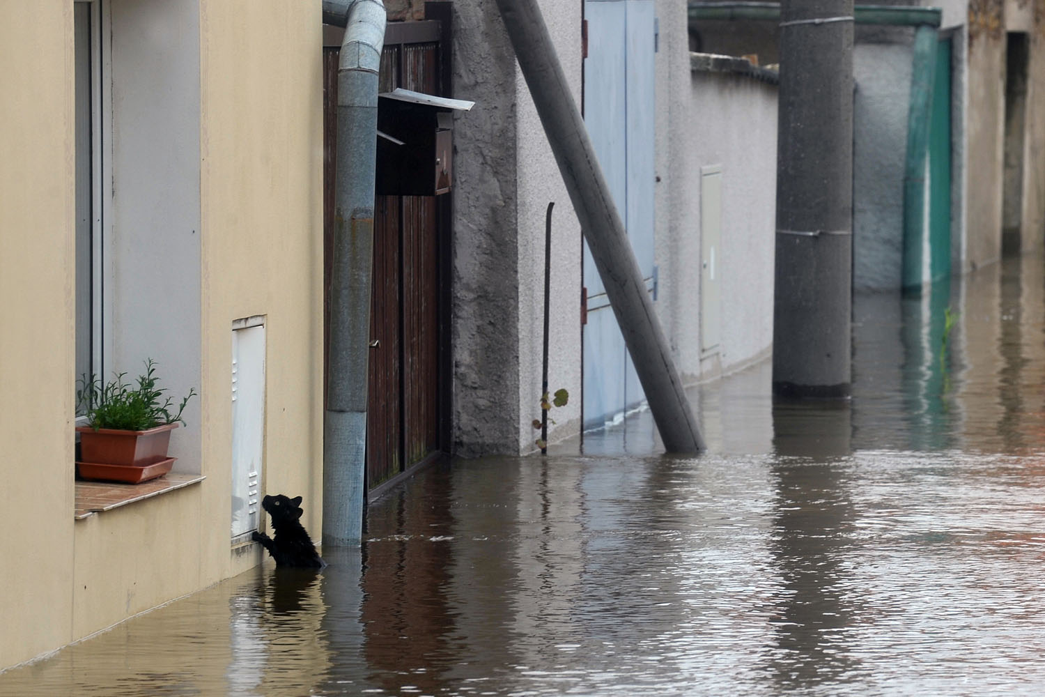 June 4, 2013. A cat tries to escape from water by the river Vltava in Kly, near Melnik, Czech Republic.