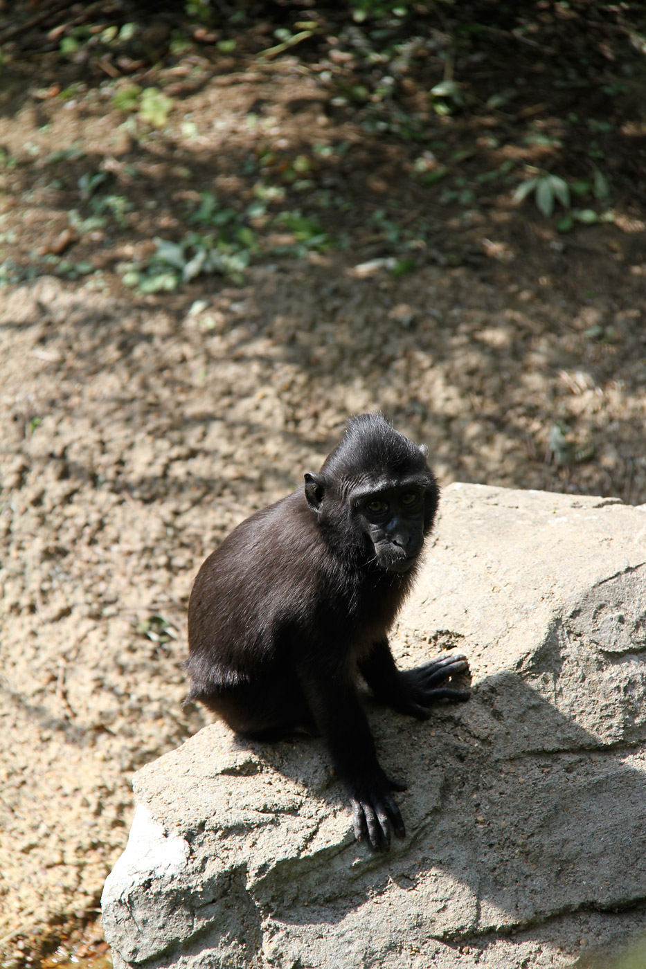 Zimm, a 3-year old Sulawesi macaque at the Memphis Zoo